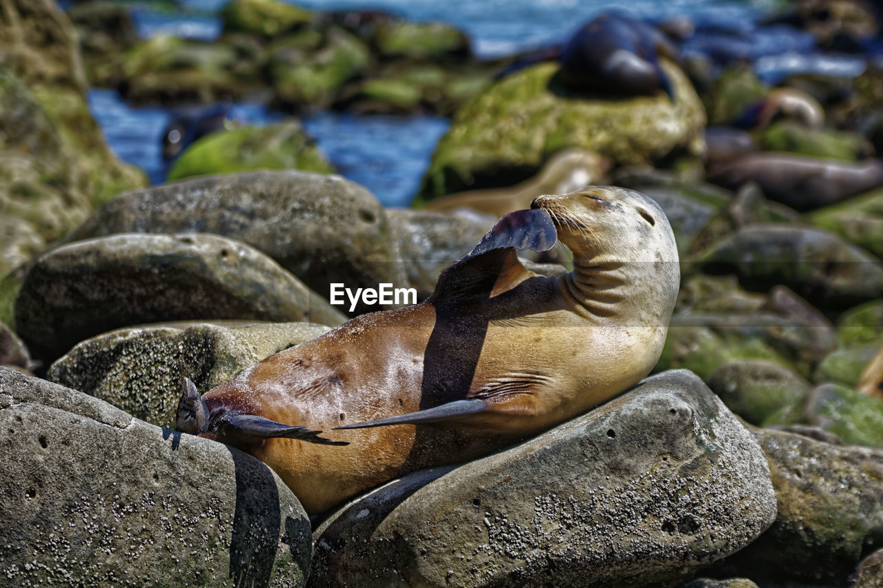solid, rock, animal wildlife, rock - object, animals in the wild, focus on foreground, nature, animal, animal themes, no people, day, vertebrate, water, close-up, sea, stone - object, stone, one animal, outdoors, marine, pebble