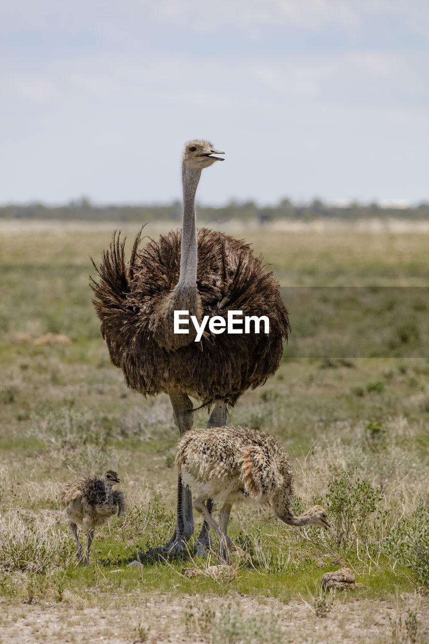 Ostriches standing on field