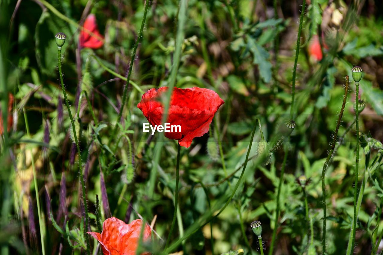 plant, red, beauty in nature, flower, flowering plant, growth, vulnerability, freshness, petal, fragility, close-up, nature, flower head, inflorescence, focus on foreground, plant part, leaf, no people, day, outdoors, poppy, leaves