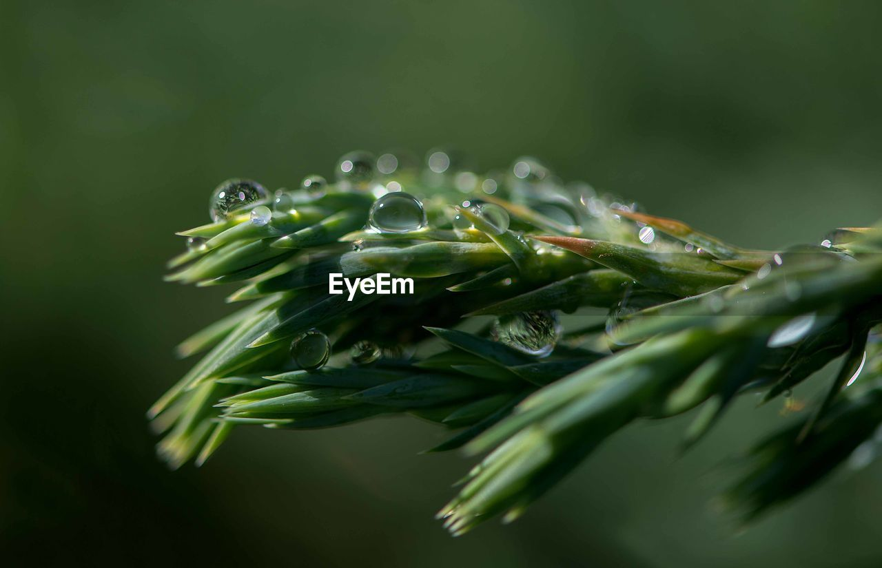 green color, plant, selective focus, close-up, no people, freshness, growth, food and drink, nature, water, beauty in nature, drop, food, wet, day, vegetable, plant part, leaf, studio shot, purity, dew
