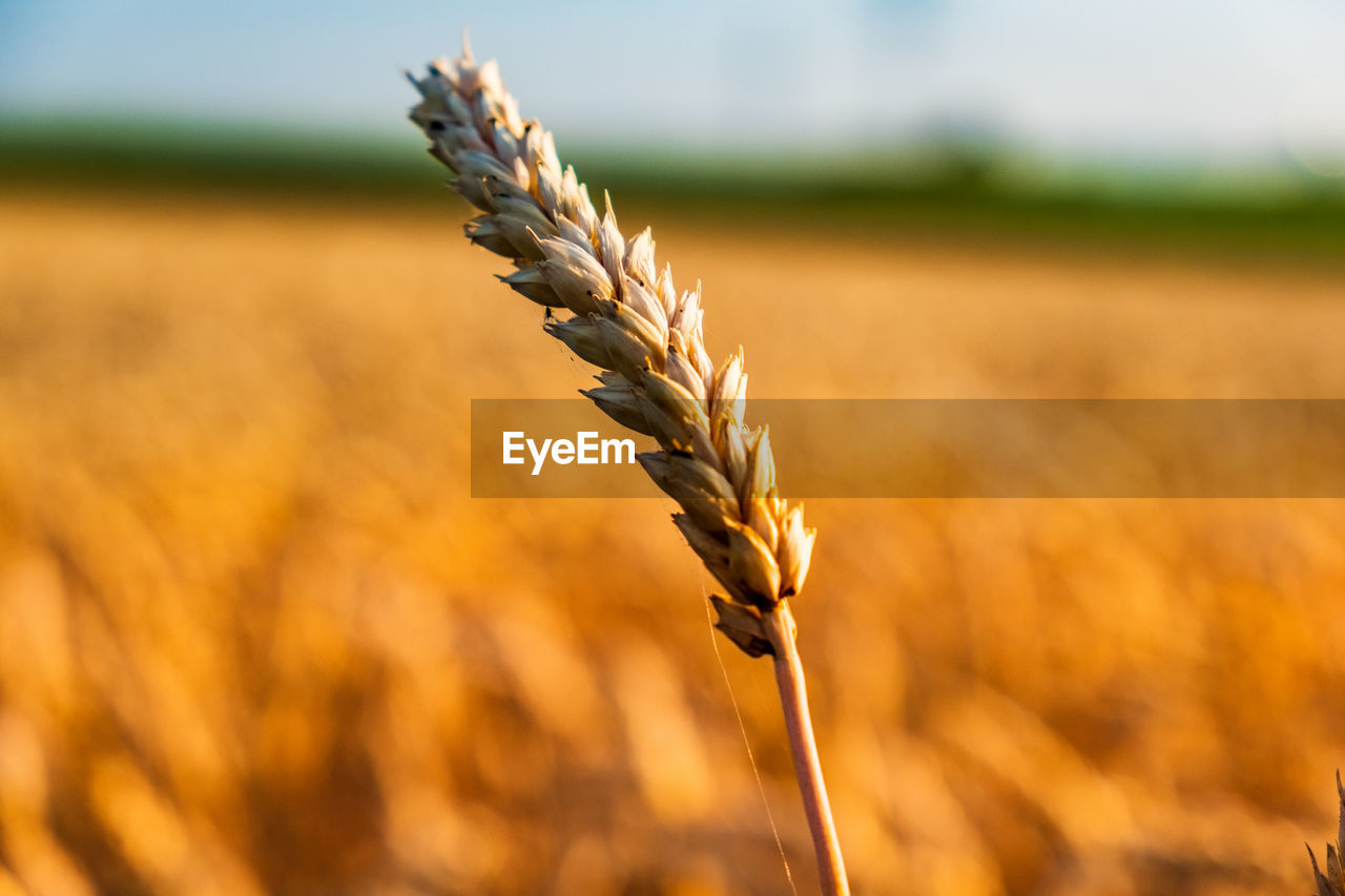 agriculture, crop, plant, growth, cereal plant, focus on foreground, rural scene, wheat, nature, field, close-up, landscape, land, farm, beauty in nature, day, no people, ear of wheat, outdoors, sunlight, oat - crop, stalk