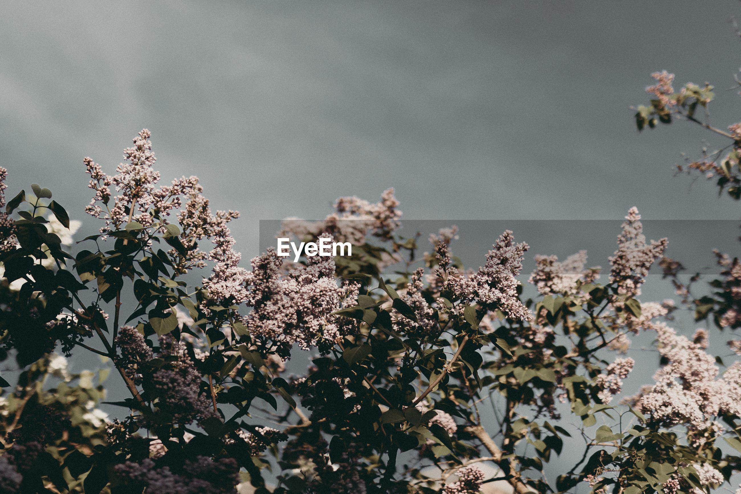 CLOSE-UP OF CHERRY BLOSSOM PLANT