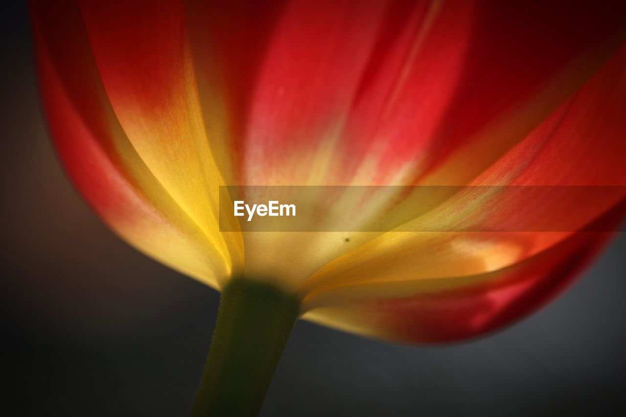 beauty in nature, vulnerability, flower, flowering plant, petal, freshness, fragility, plant, close-up, flower head, inflorescence, no people, nature, growth, yellow, studio shot, red, tulip, botany, pollen