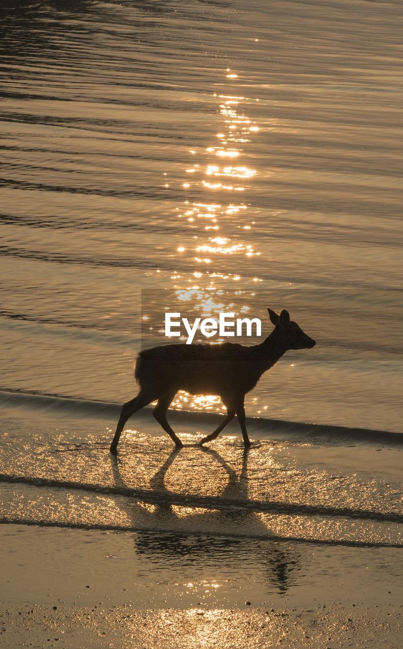 animal, animal themes, water, one animal, sunset, mammal, vertebrate, sunlight, nature, land, sky, domestic animals, animal wildlife, reflection, beauty in nature, beach, no people, pets, silhouette, outdoors, herbivorous