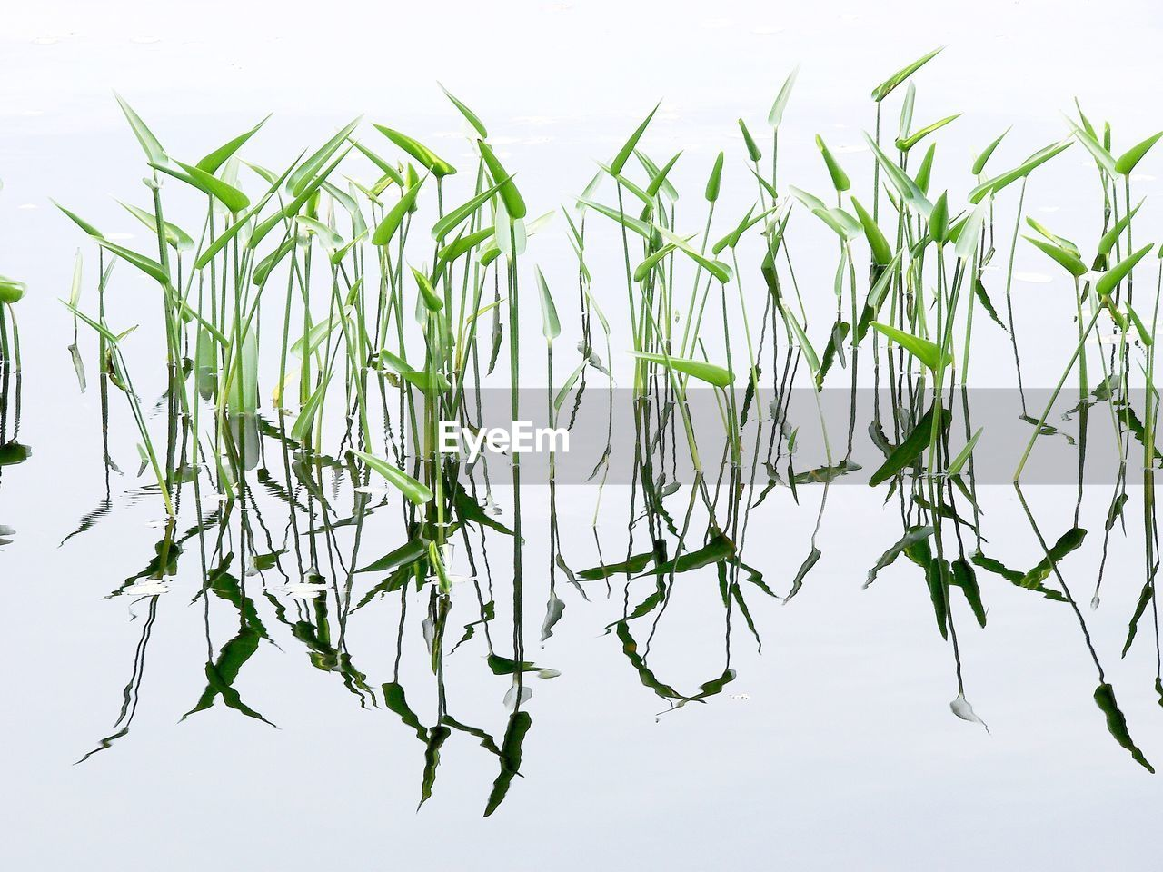 no people, green color, plant, nature, growth, white background, outdoors, day, close-up, beauty in nature, sky