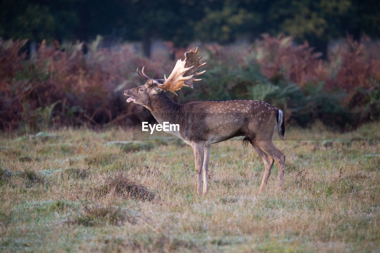 Deer standing on land