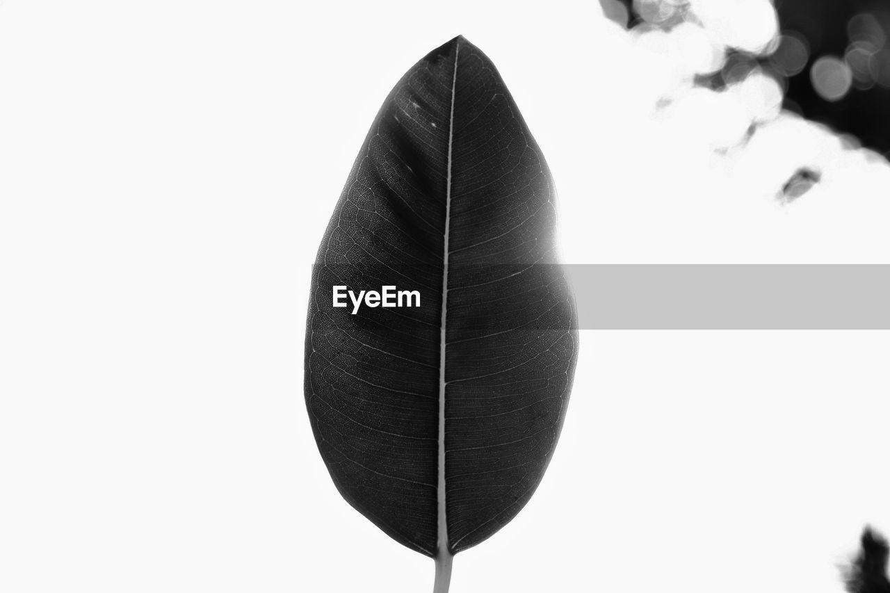 white background, close-up, leaf, no people, studio shot, day