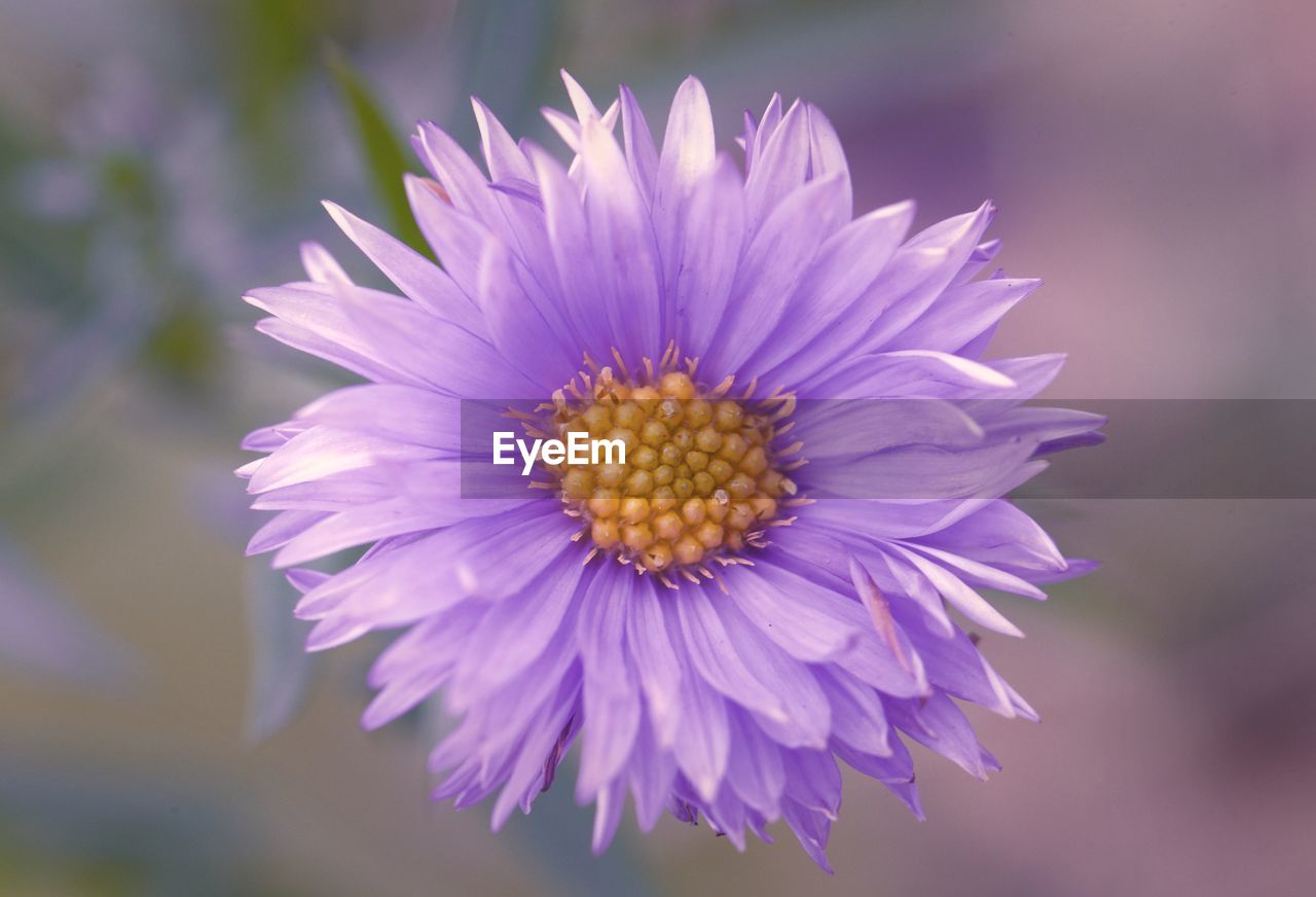 flower, flowering plant, vulnerability, fragility, freshness, plant, beauty in nature, petal, flower head, inflorescence, close-up, growth, nature, focus on foreground, no people, purple, pollen, day, outdoors, focus