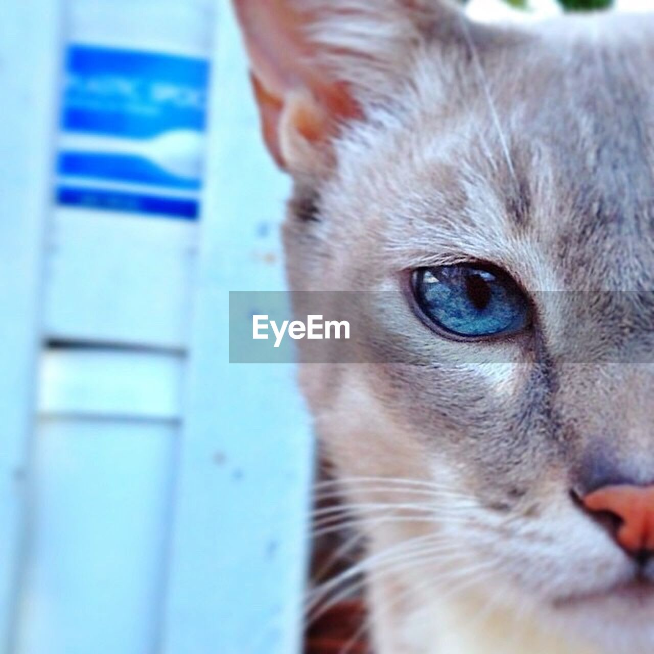 domestic cat, pets, domestic animals, one animal, portrait, animal themes, mammal, feline, looking at camera, close-up, whisker, no people, blue, day, outdoors