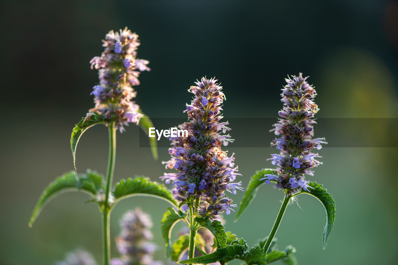 flower, plant, beauty in nature, flowering plant, vulnerability, growth, freshness, fragility, purple, close-up, nature, no people, day, focus on foreground, petal, selective focus, inflorescence, flower head, plant stem, lavender, outdoors