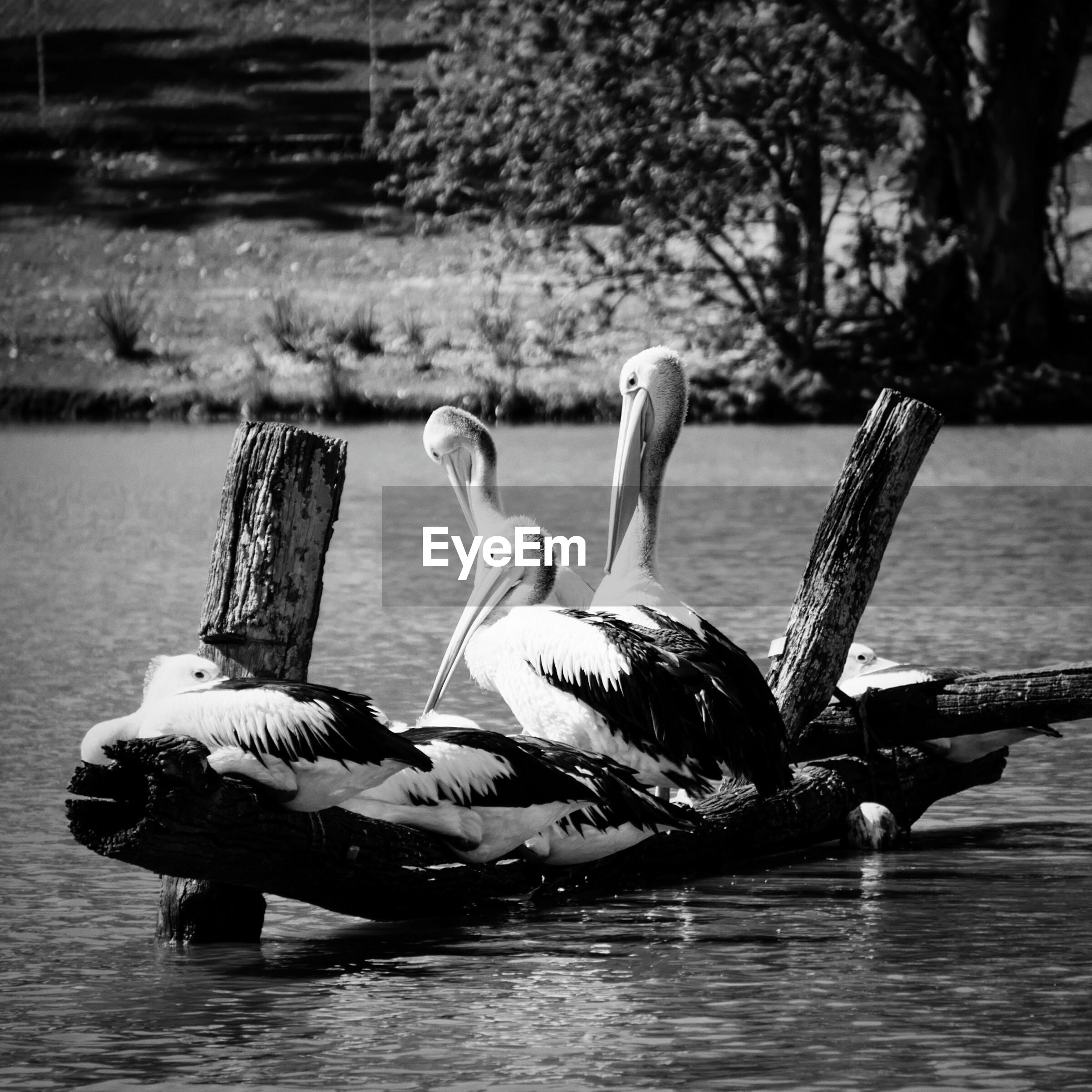 Pelicans on wooden post over lake