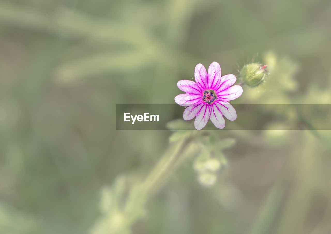 flower, nature, fragility, petal, growth, freshness, beauty in nature, plant, flower head, no people, outdoors, day, blooming, close-up, cosmos flower