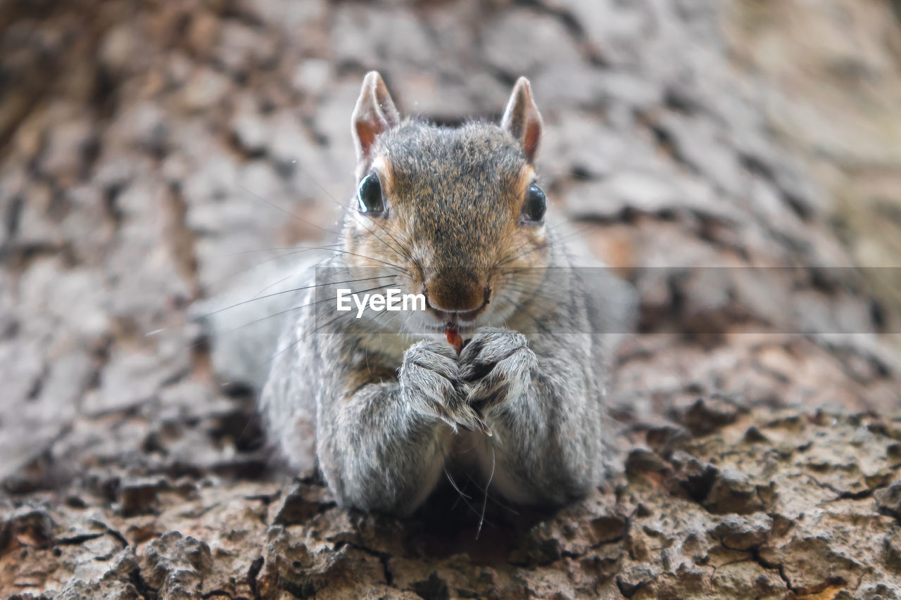 one animal, animal themes, animal, animal wildlife, mammal, rodent, animals in the wild, no people, vertebrate, close-up, looking at camera, portrait, day, squirrel, focus on foreground, land, nature, whisker, front view, eating
