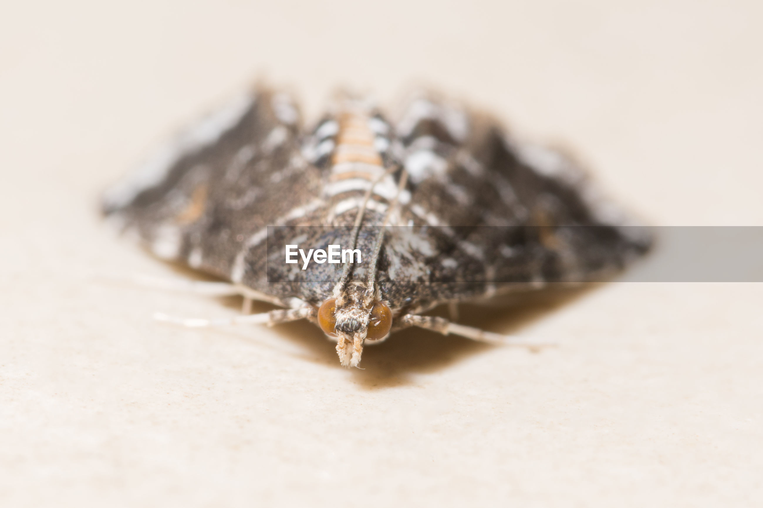 Close-up of moth on beige surface