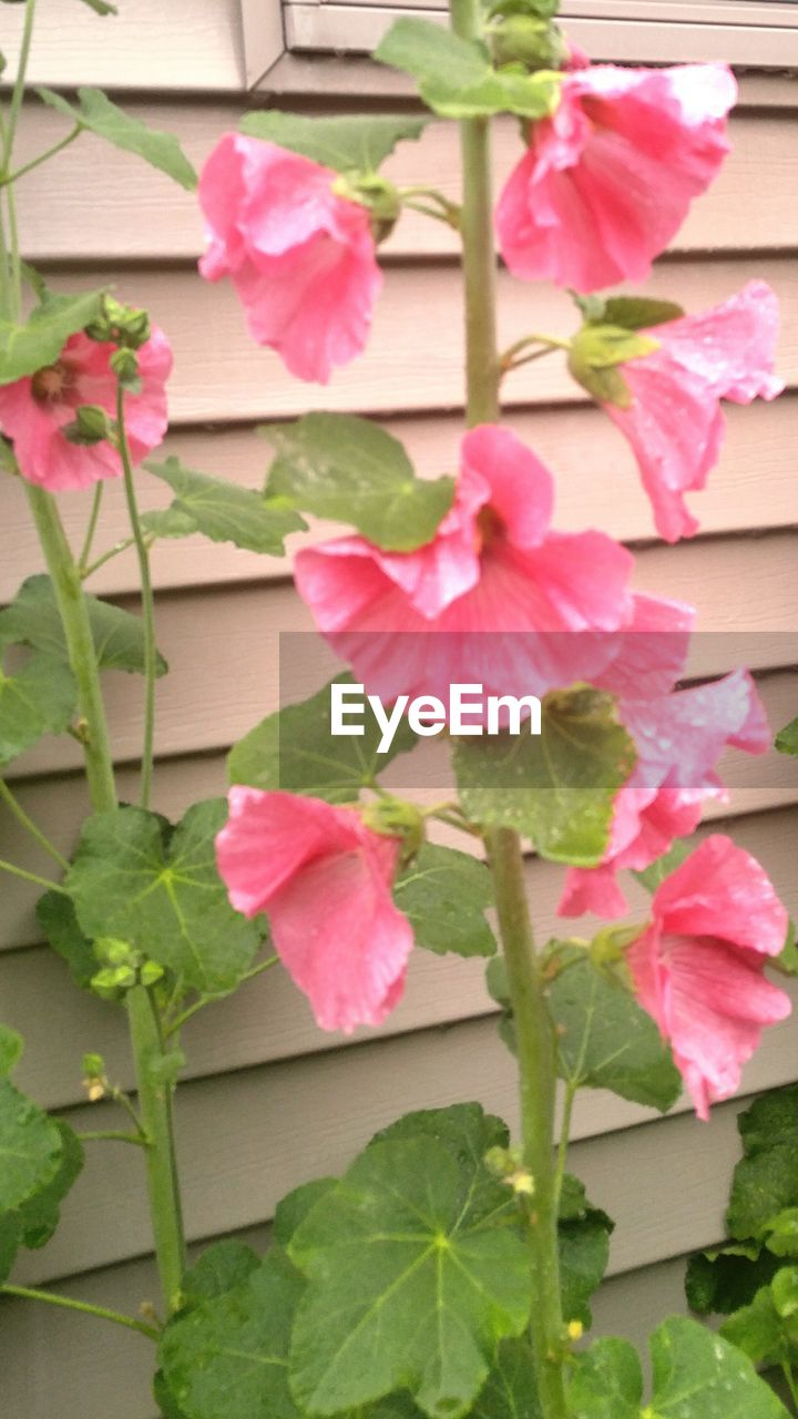 flower, growth, plant, pink color, leaf, fragility, nature, beauty in nature, petal, no people, freshness, blooming, day, outdoors, flower head, bougainvillea, close-up, periwinkle