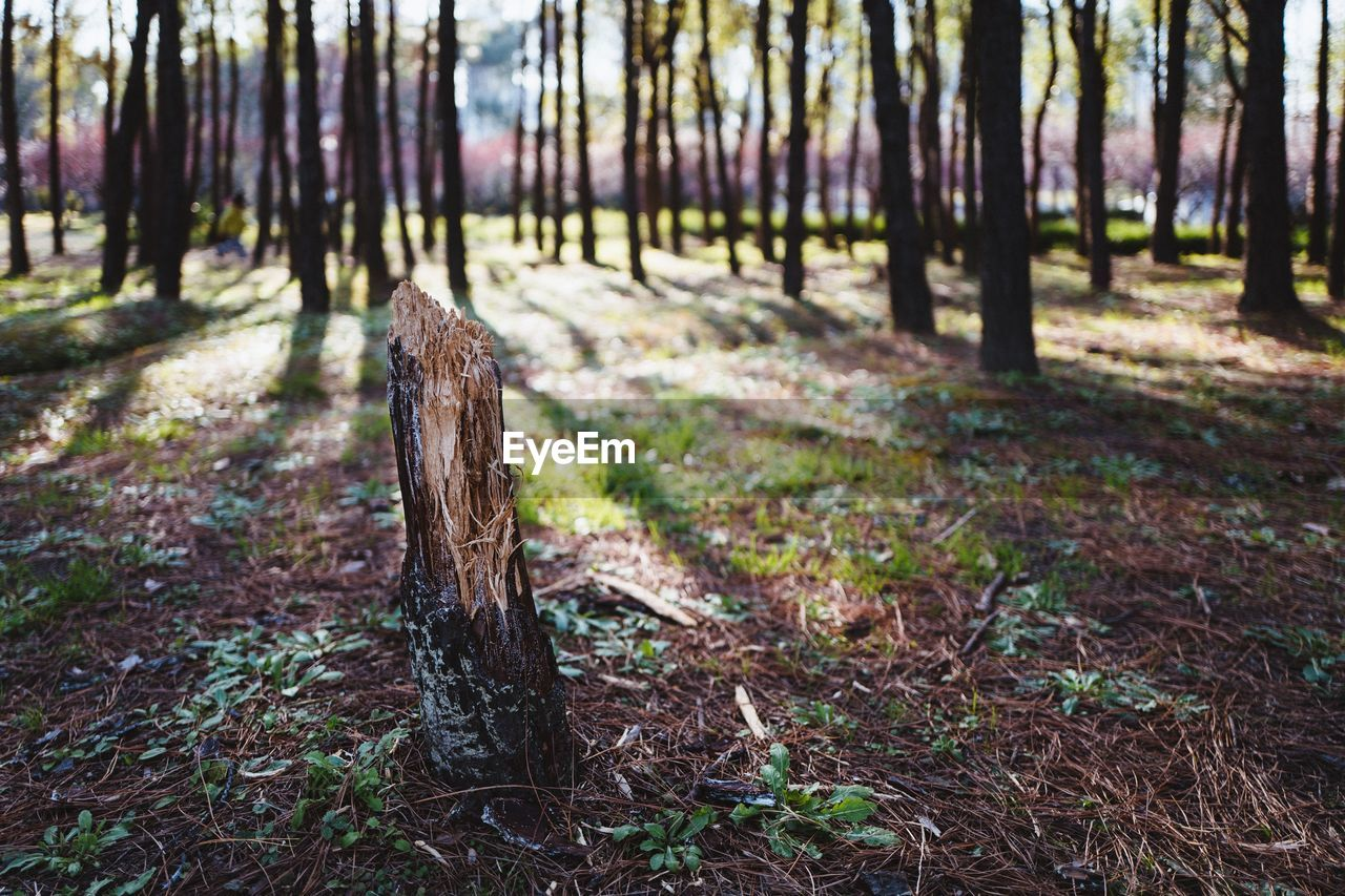 tree trunk, forest, tree, nature, woodland, tranquility, no people, focus on foreground, growth, day, tranquil scene, outdoors, beauty in nature