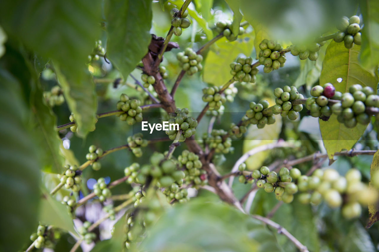 Bunches of green unripe berries on tree