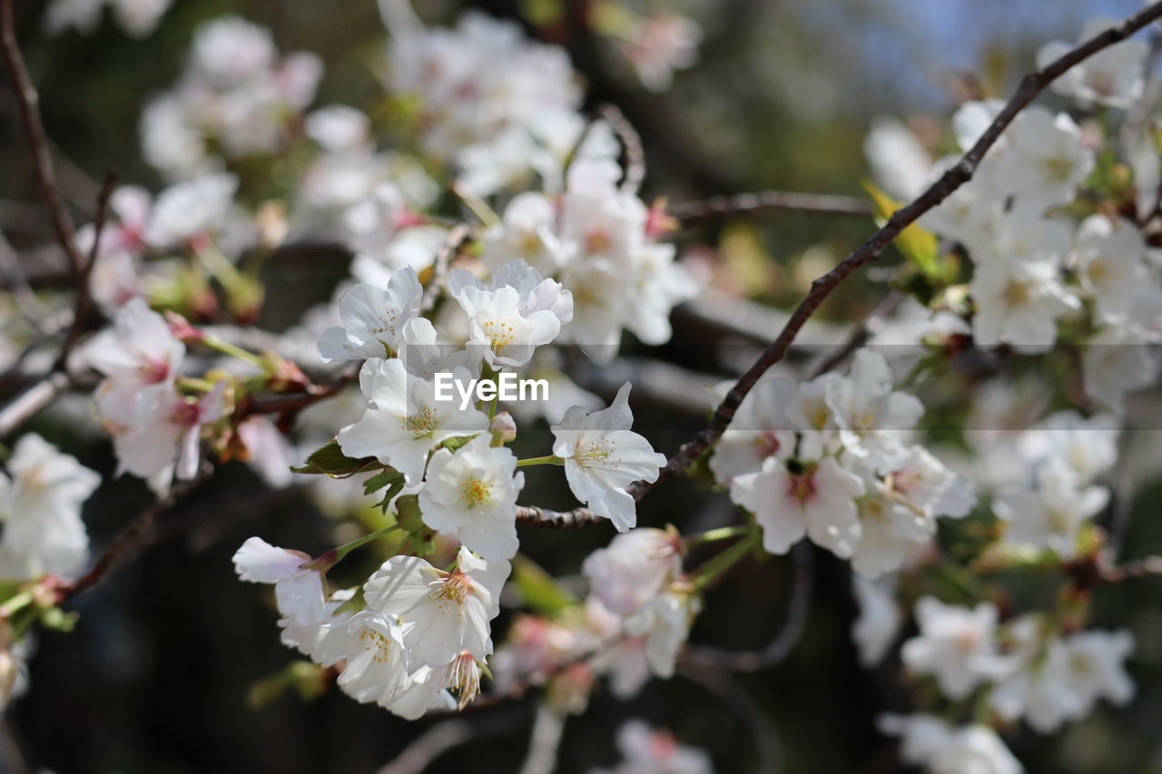 flowering plant, flower, plant, beauty in nature, growth, freshness, fragility, vulnerability, white color, close-up, springtime, petal, nature, blossom, day, no people, tree, branch, flower head, selective focus, outdoors, cherry blossom, cherry tree, spring
