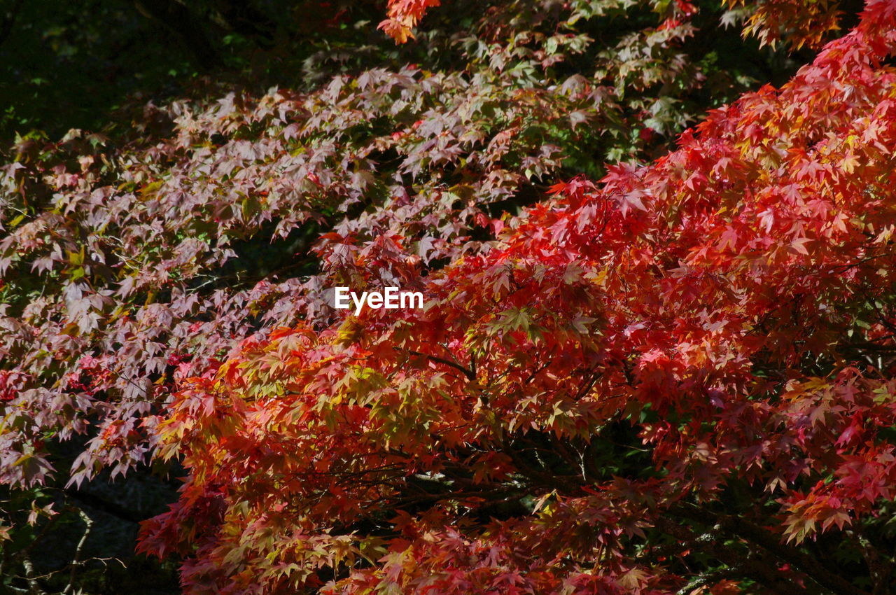 autumn, nature, beauty in nature, change, tranquility, leaf, no people, maple tree, tree, outdoors, day, scenics, red, maple leaf, water, undersea, sea life, close-up