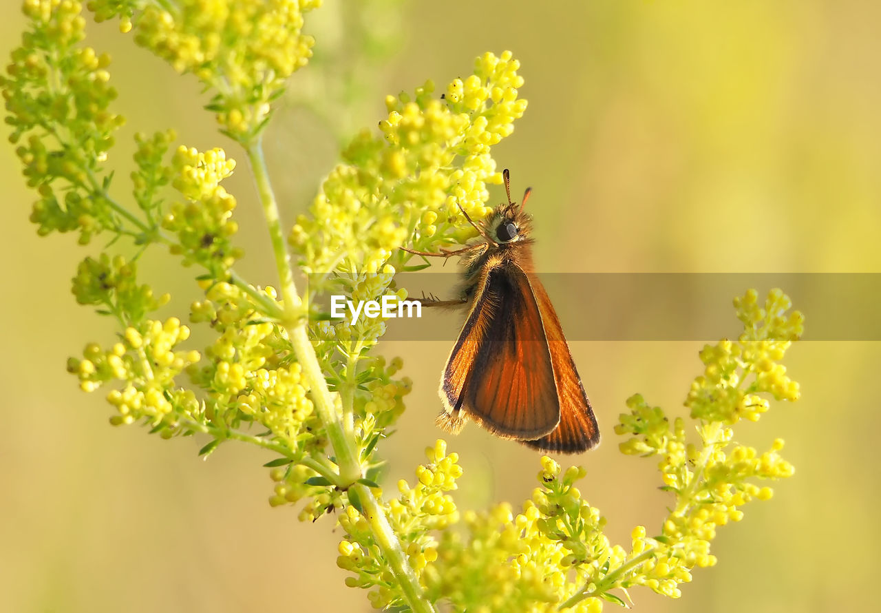 invertebrate, flower, insect, animal themes, one animal, animal, flowering plant, animal wildlife, animals in the wild, plant, beauty in nature, fragility, vulnerability, butterfly - insect, growth, close-up, animal wing, pollination, freshness, flower head, no people, outdoors, butterfly