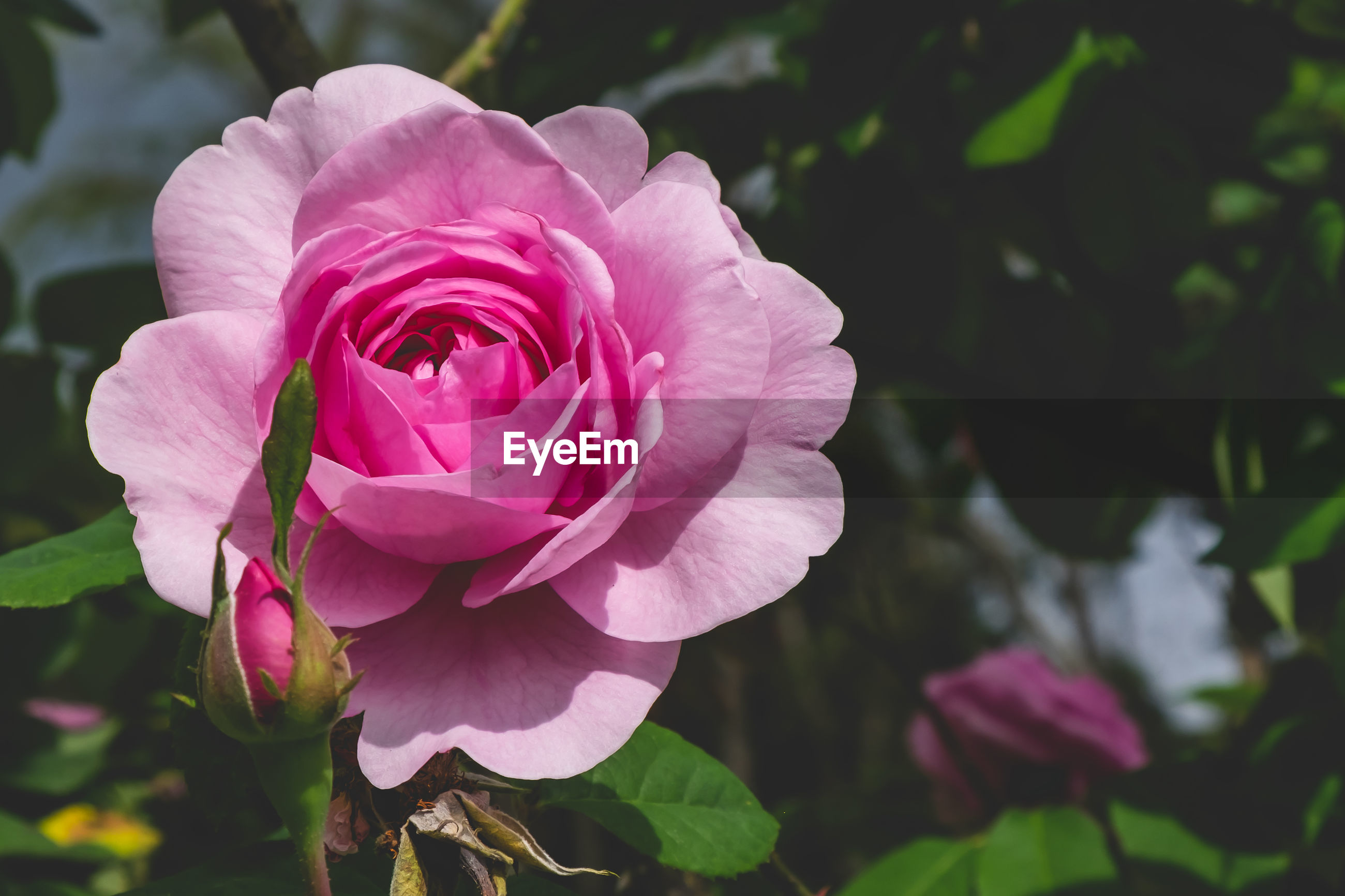 CLOSE-UP OF PINK ROSE AND PLANT