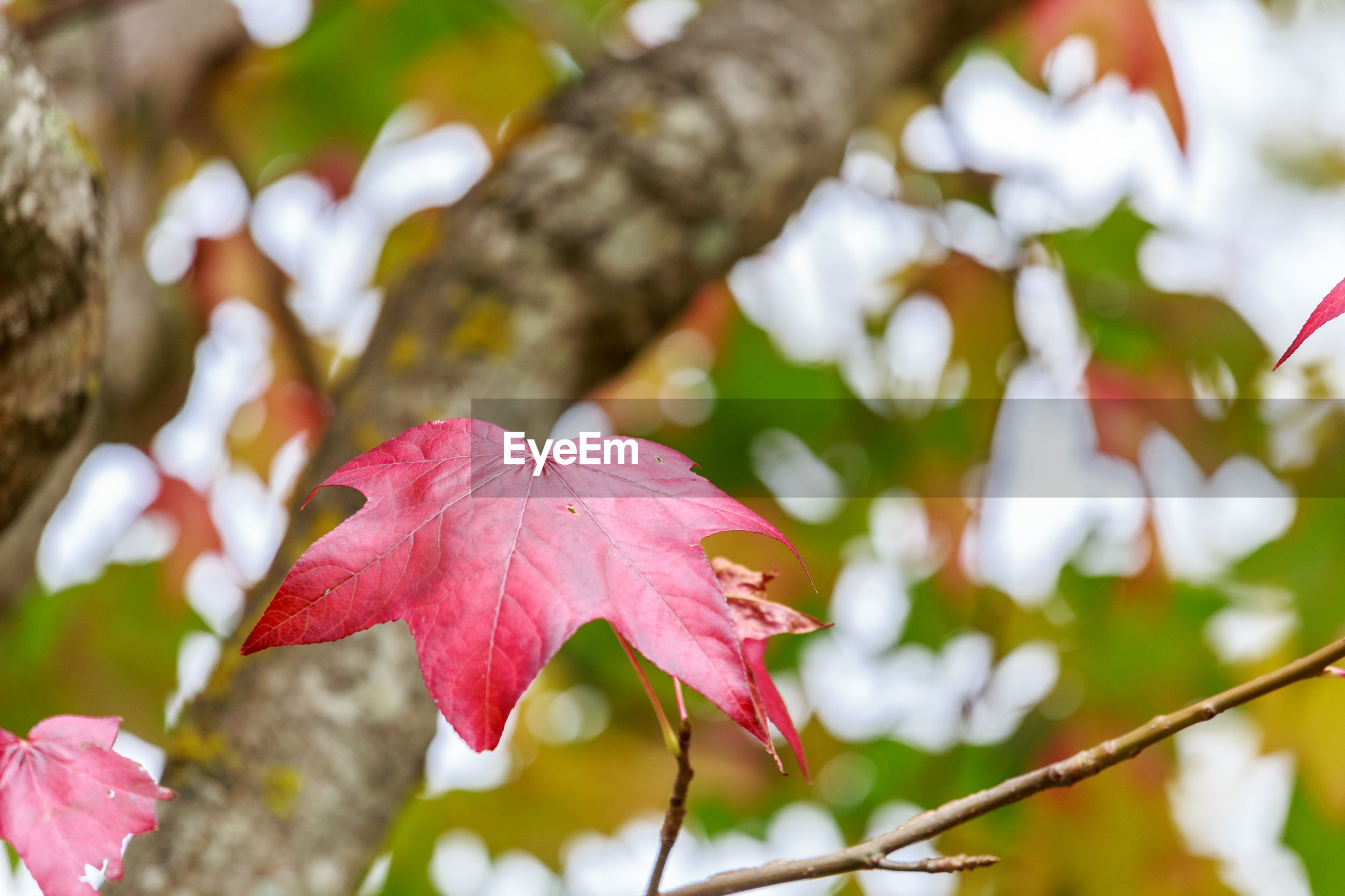 Close-up of pink maple leaves on plant during autumn