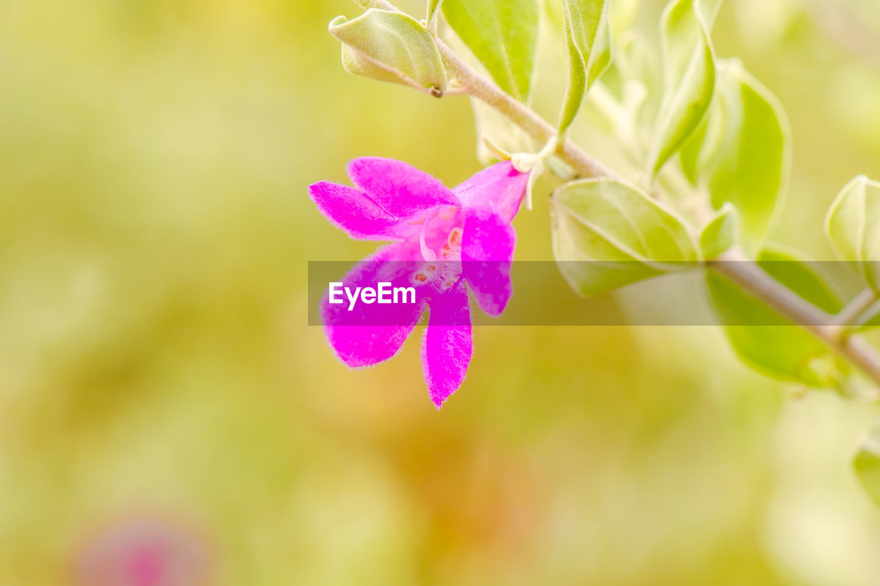 plant, flower, beauty in nature, flowering plant, close-up, freshness, growth, vulnerability, fragility, petal, pink color, selective focus, no people, flower head, inflorescence, focus on foreground, nature, plant part, leaf, green color, purple