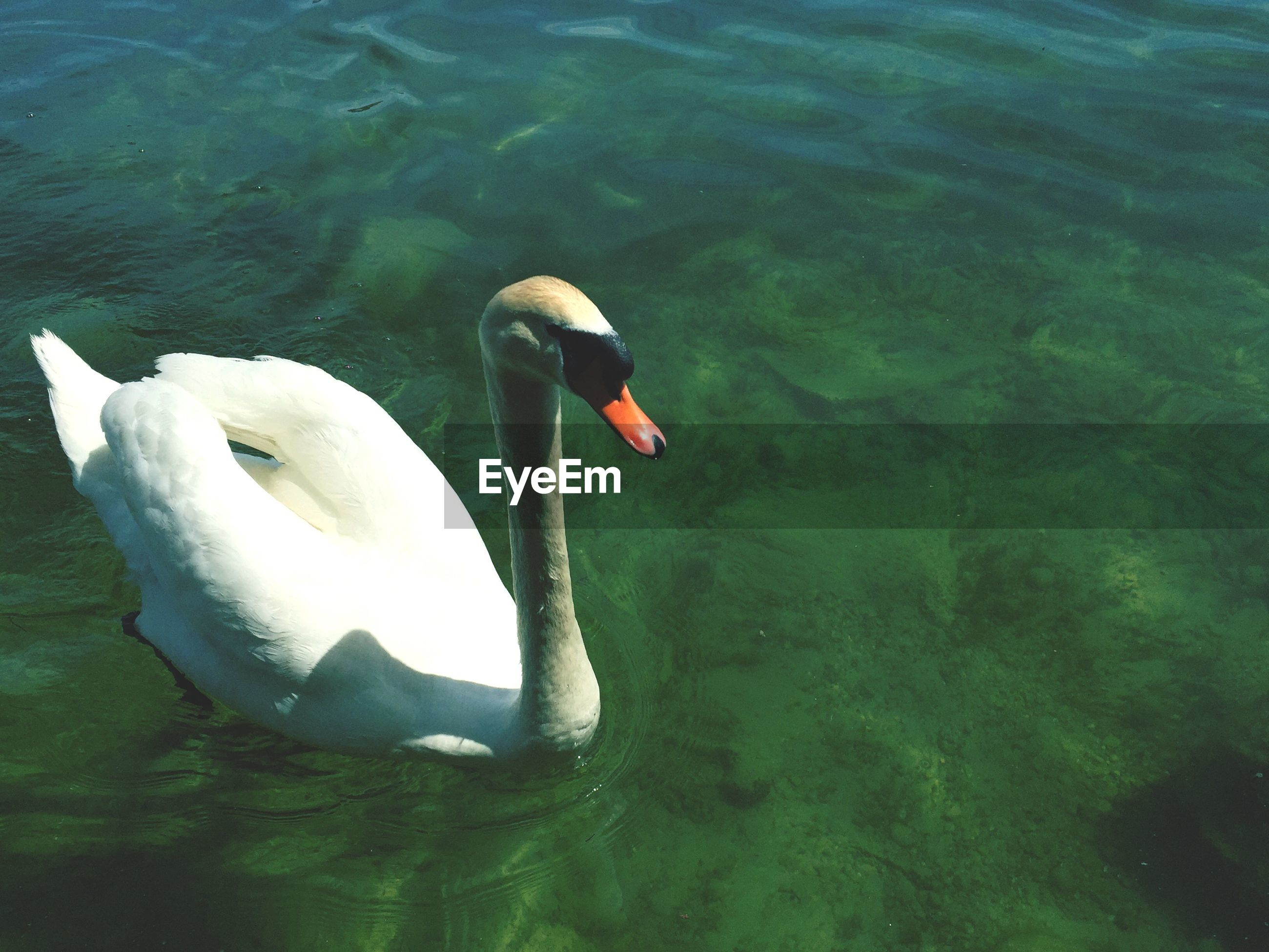 High angle view of a swan in water