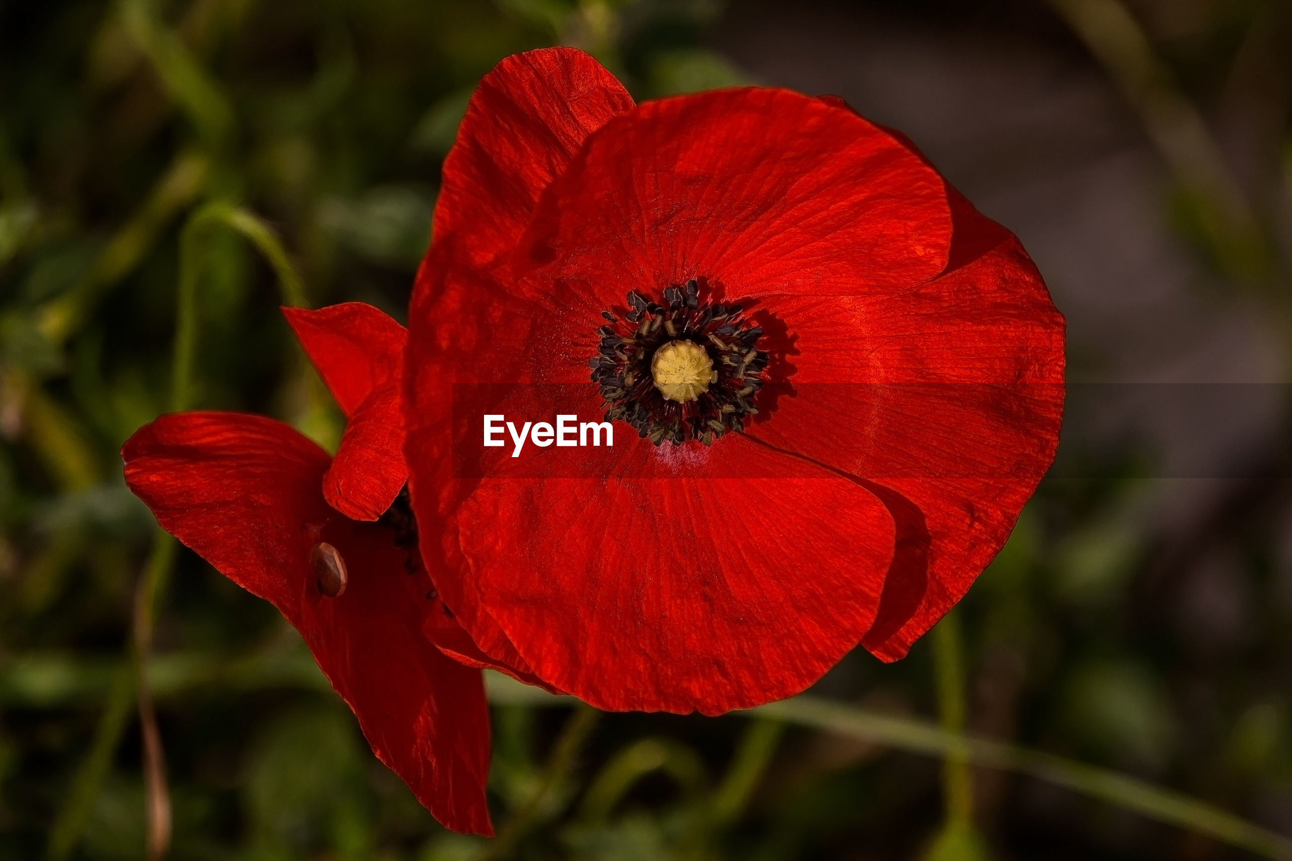CLOSE-UP OF RED POPPY FLOWER AGAINST BLURRED BACKGROUND