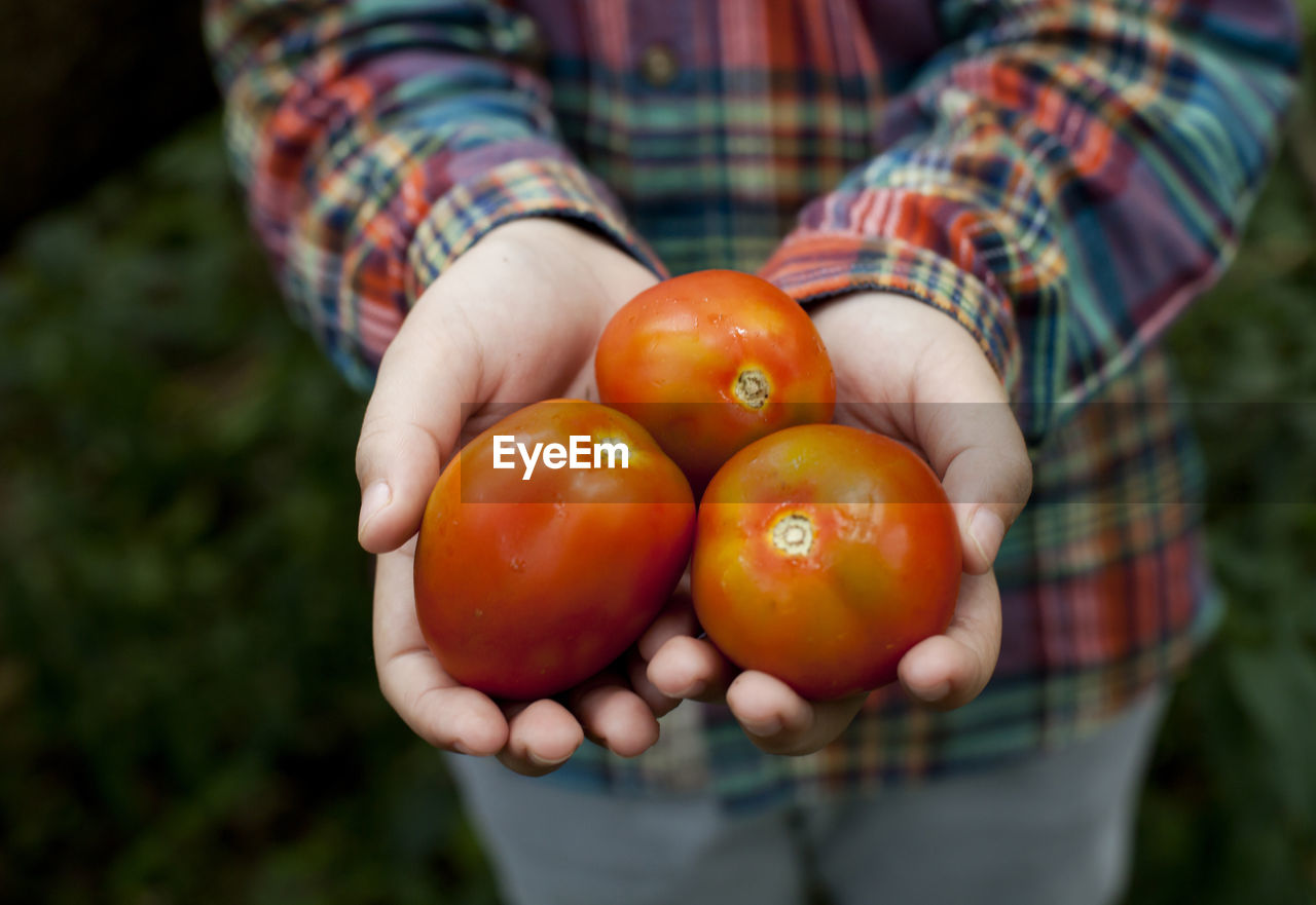 Close-Up Of Hands Holding Tomatos