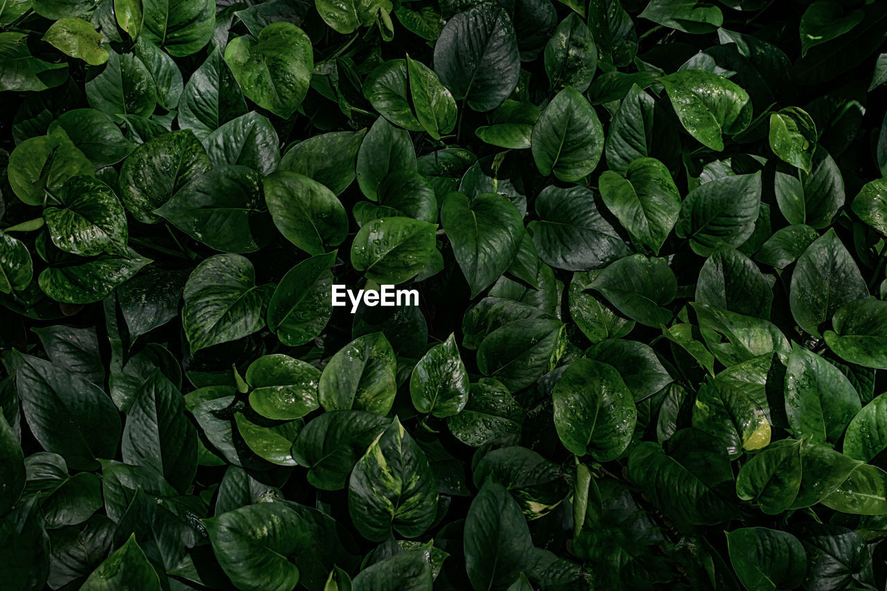 green color, full frame, backgrounds, leaf, growth, plant part, no people, plant, freshness, nature, wellbeing, beauty in nature, food and drink, healthy eating, food, close-up, directly above, high angle view, abundance, botany, leaves