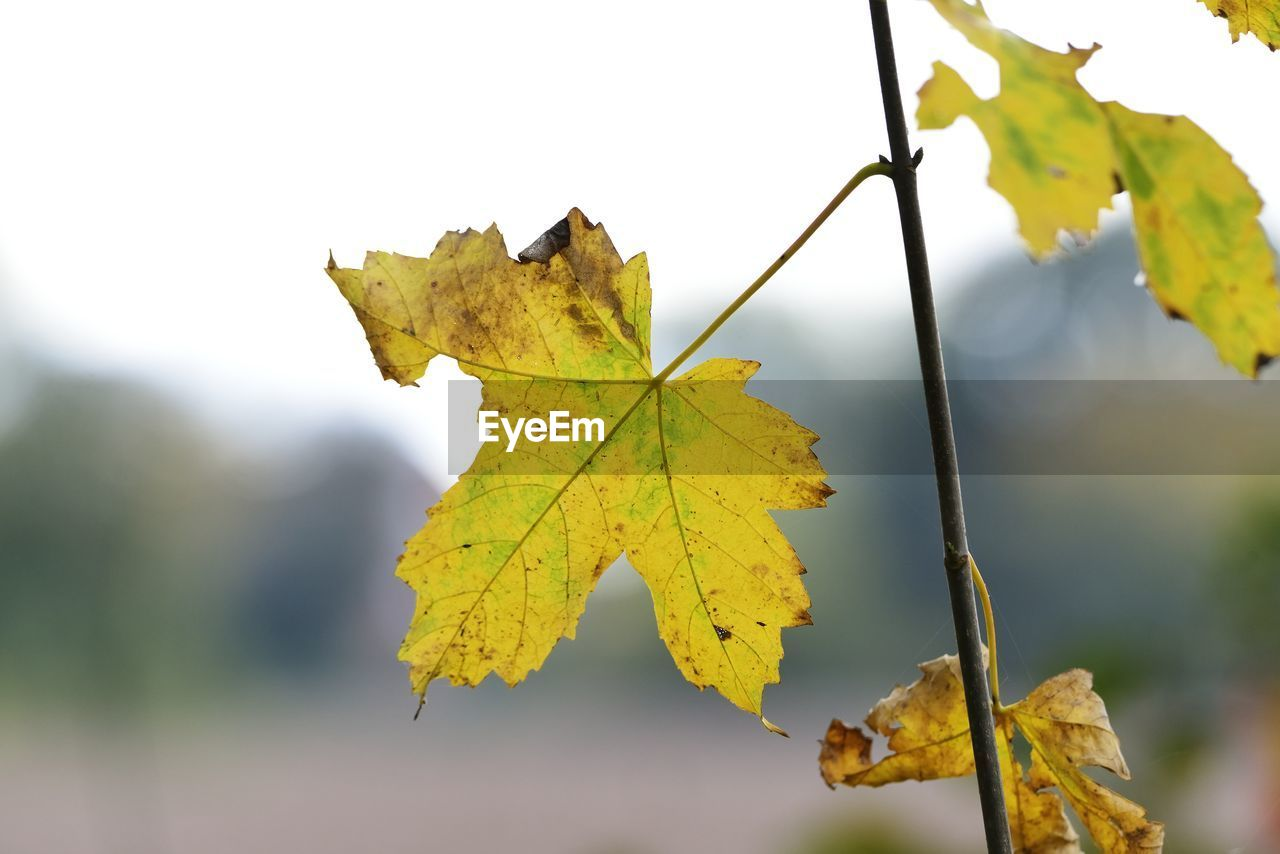leaf, plant part, autumn, change, close-up, focus on foreground, nature, plant, day, no people, beauty in nature, outdoors, leaf vein, maple leaf, leaves, growth, tree, yellow, vulnerability, natural condition, fall