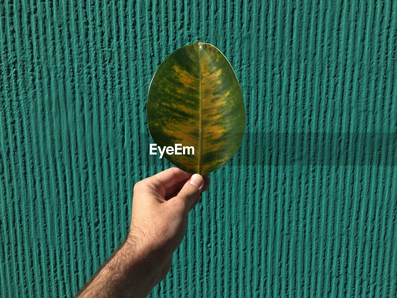 Cropped hand of man holding green and yellow leaf wall