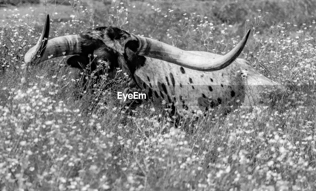 animal themes, one animal, animal, animal wildlife, animals in the wild, animal body part, horned, nature, no people, close-up, selective focus, land, day, animal skull, invertebrate, outdoors, bone, field, insect, animal head, aggression