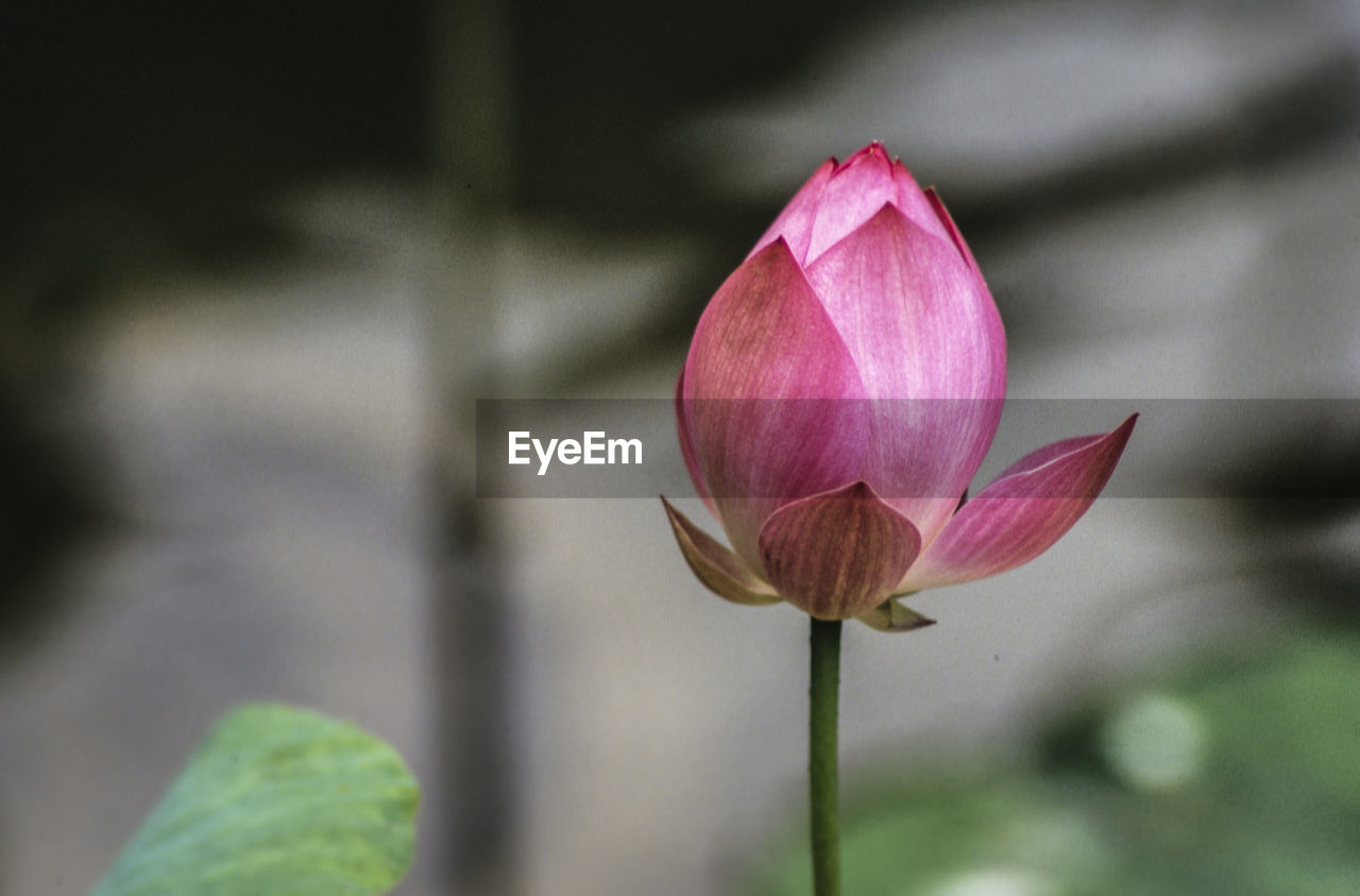 flowering plant, flower, vulnerability, beauty in nature, freshness, fragility, plant, petal, pink color, close-up, growth, inflorescence, flower head, focus on foreground, plant stem, water lily, nature, no people, beginnings, lotus water lily, outdoors, sepal