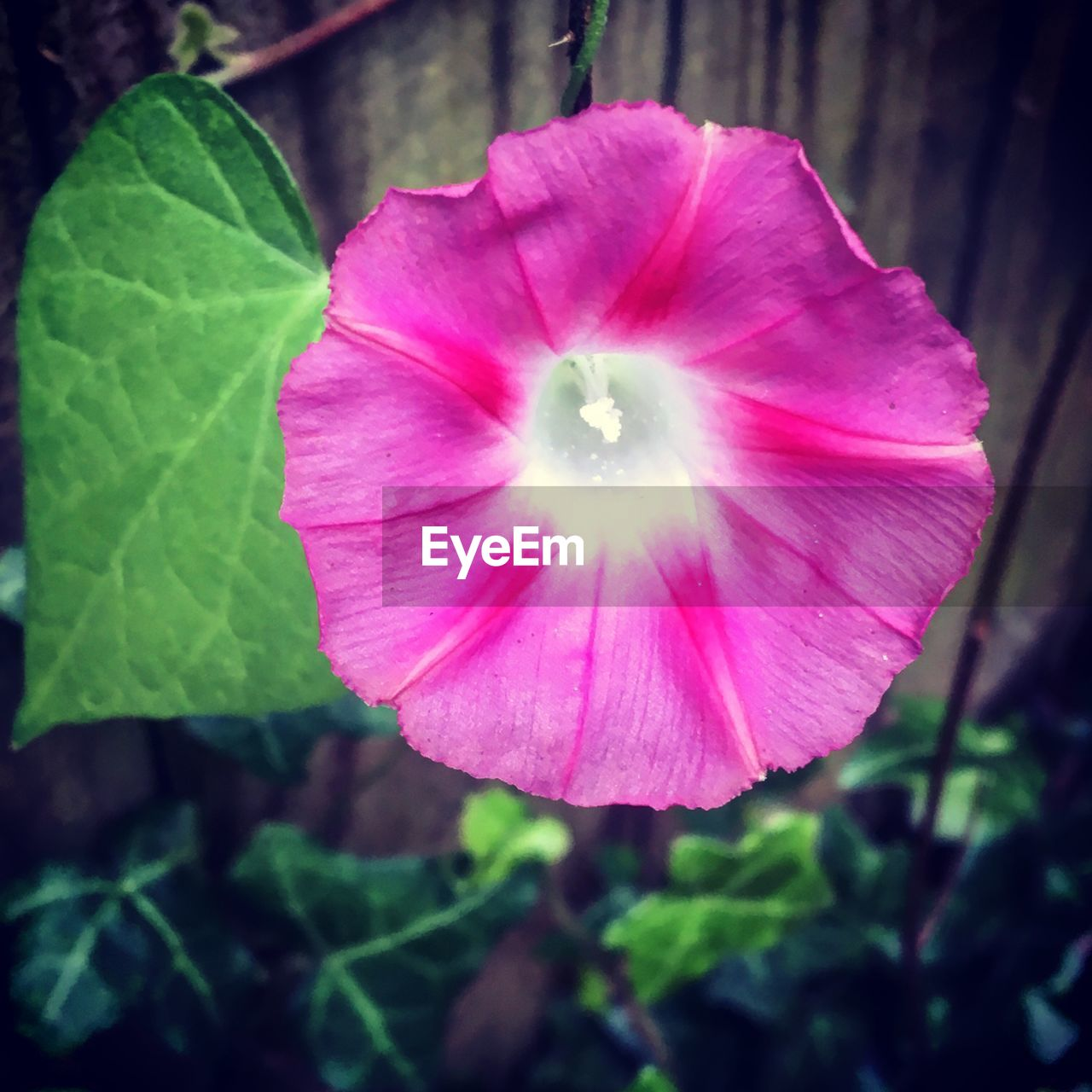 flower, fragility, petal, beauty in nature, nature, freshness, plant, flower head, growth, blooming, close-up, pink color, outdoors, day, no people, petunia, leaf, hibiscus