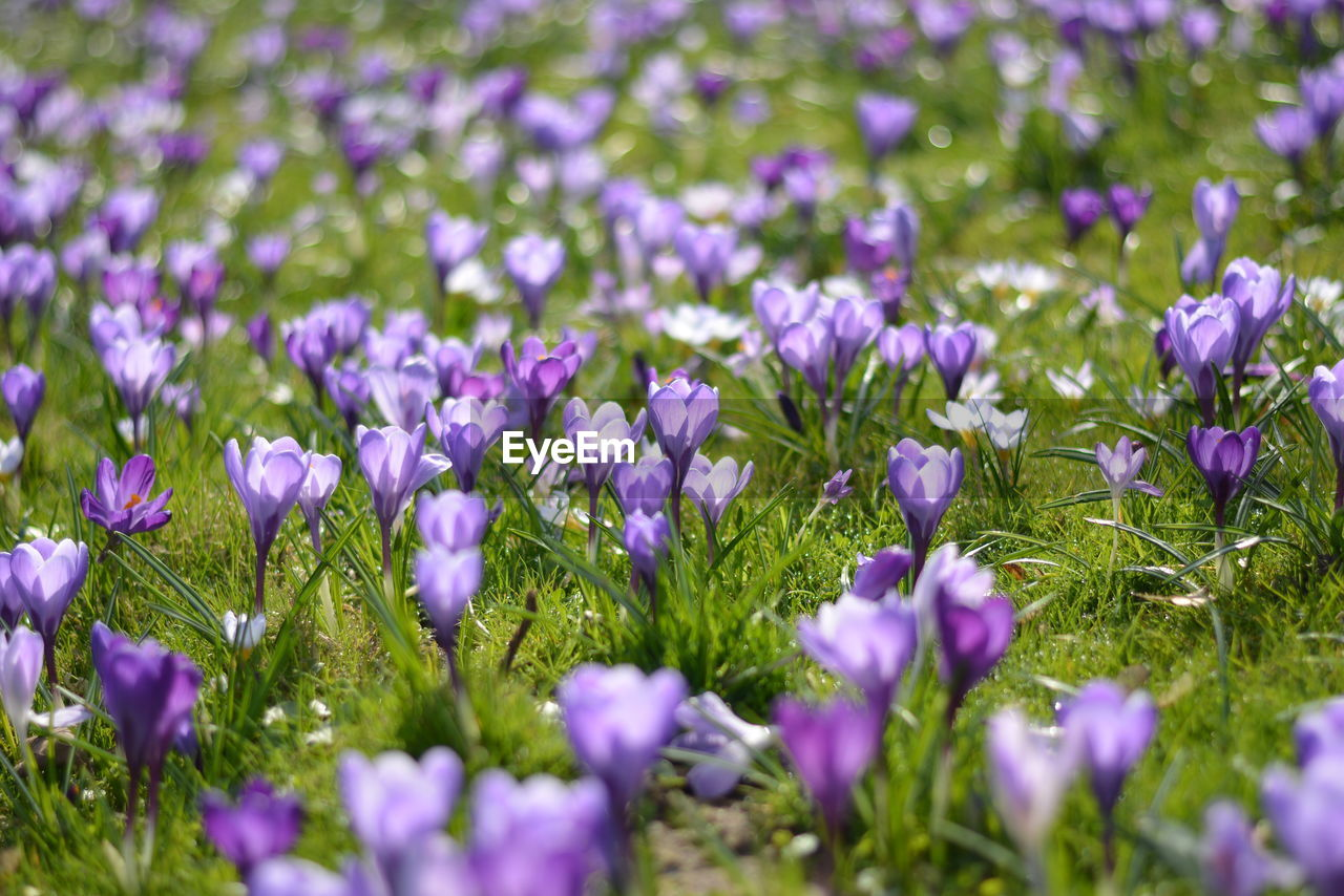 flower, beauty in nature, growth, purple, nature, fragility, plant, freshness, selective focus, petal, field, no people, blooming, outdoors, day, crocus, flower head, flowerbed, close-up