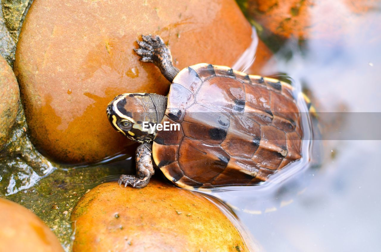 animal themes, animal, animal wildlife, animals in the wild, close-up, turtle, one animal, reptile, day, shell, nature, animal shell, vertebrate, invertebrate, no people, outdoors, water, rock, focus on foreground, marine