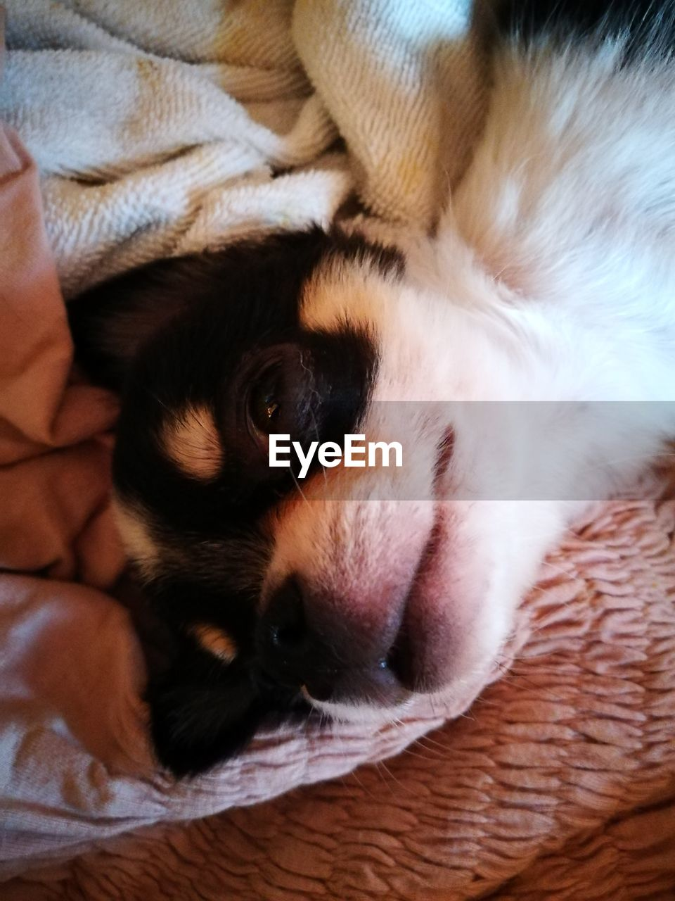 mammal, one animal, domestic, animal themes, pets, domestic animals, relaxation, animal, vertebrate, canine, dog, resting, indoors, sleeping, close-up, no people, bed, furniture, eyes closed, animal body part, animal head, whisker