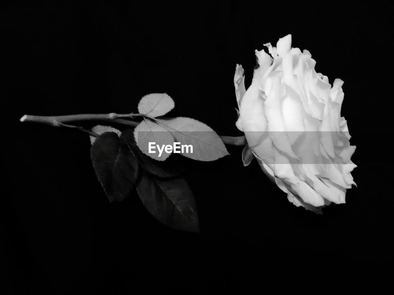 flower, petal, black background, flower head, beauty in nature, fragility, studio shot, white color, nature, no people, growth, freshness, close-up, night, plant, blooming, outdoors