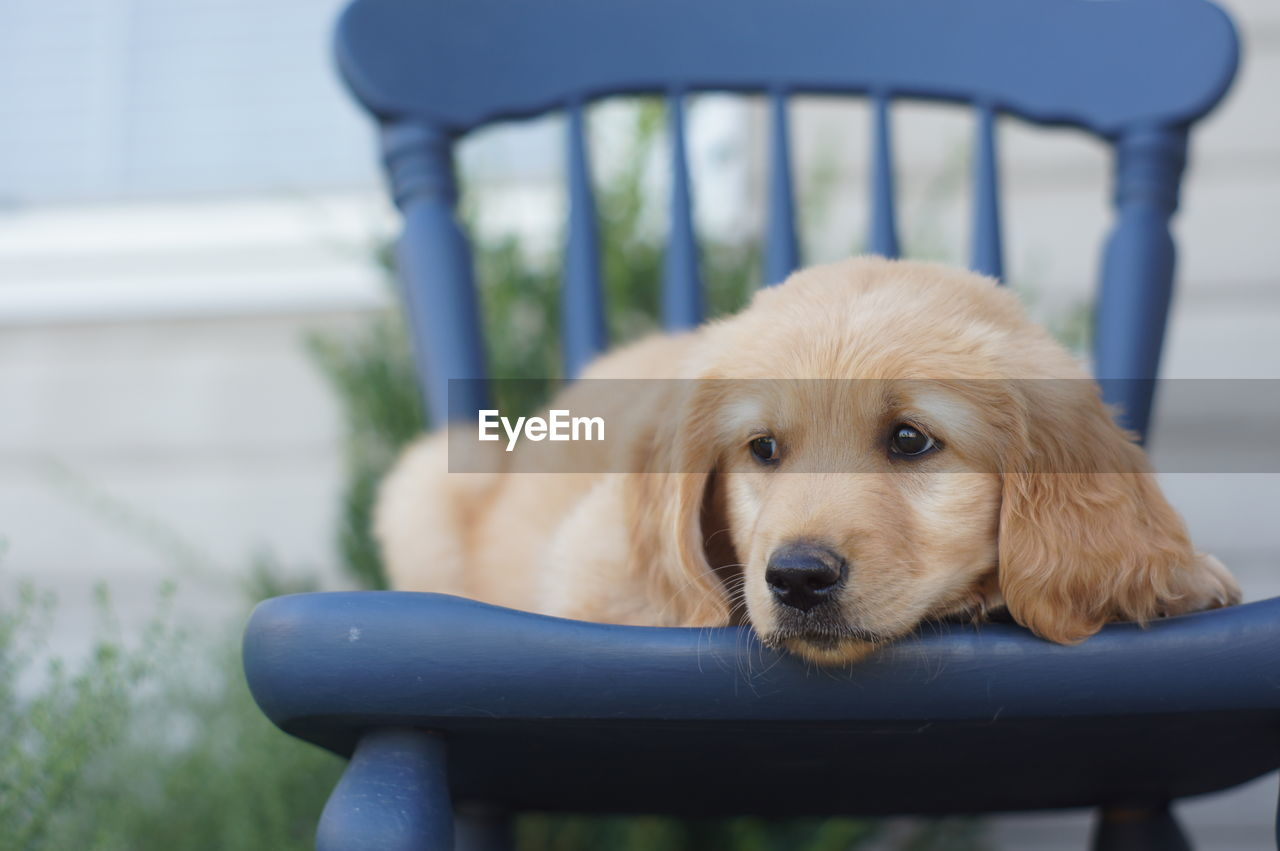 Close-up of golden retriever puppy resting on chair