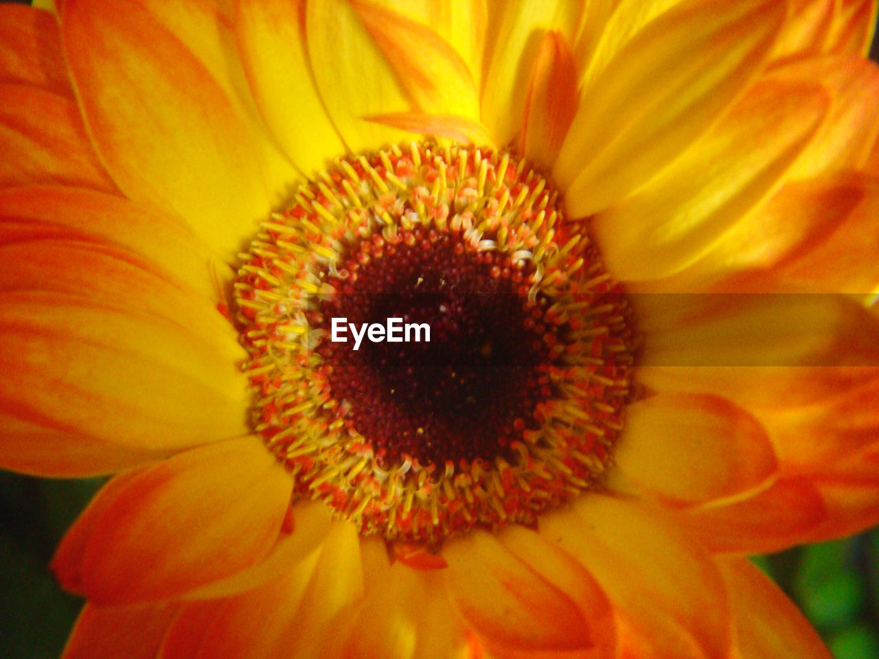 flower, petal, flower head, fragility, beauty in nature, pollen, freshness, growth, nature, blooming, yellow, close-up, plant, gazania, no people, day, full frame, sunflower, springtime, backgrounds, outdoors