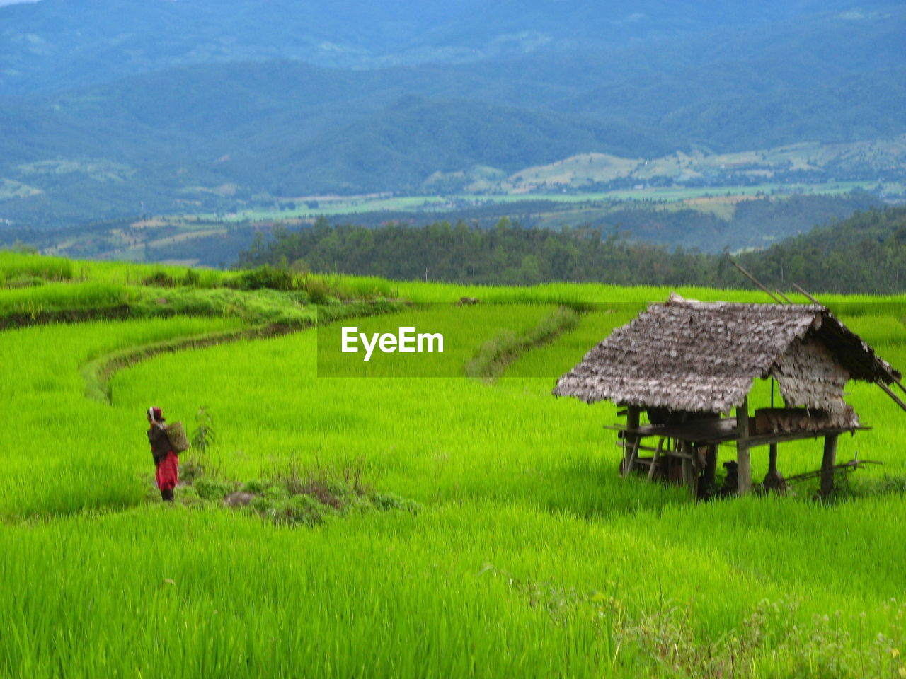 field, plant, green color, landscape, scenics - nature, land, environment, beauty in nature, farm, nature, rural scene, agriculture, growth, grass, day, rice paddy, real people, rice - cereal plant, tranquility, adult, outdoors, farmer