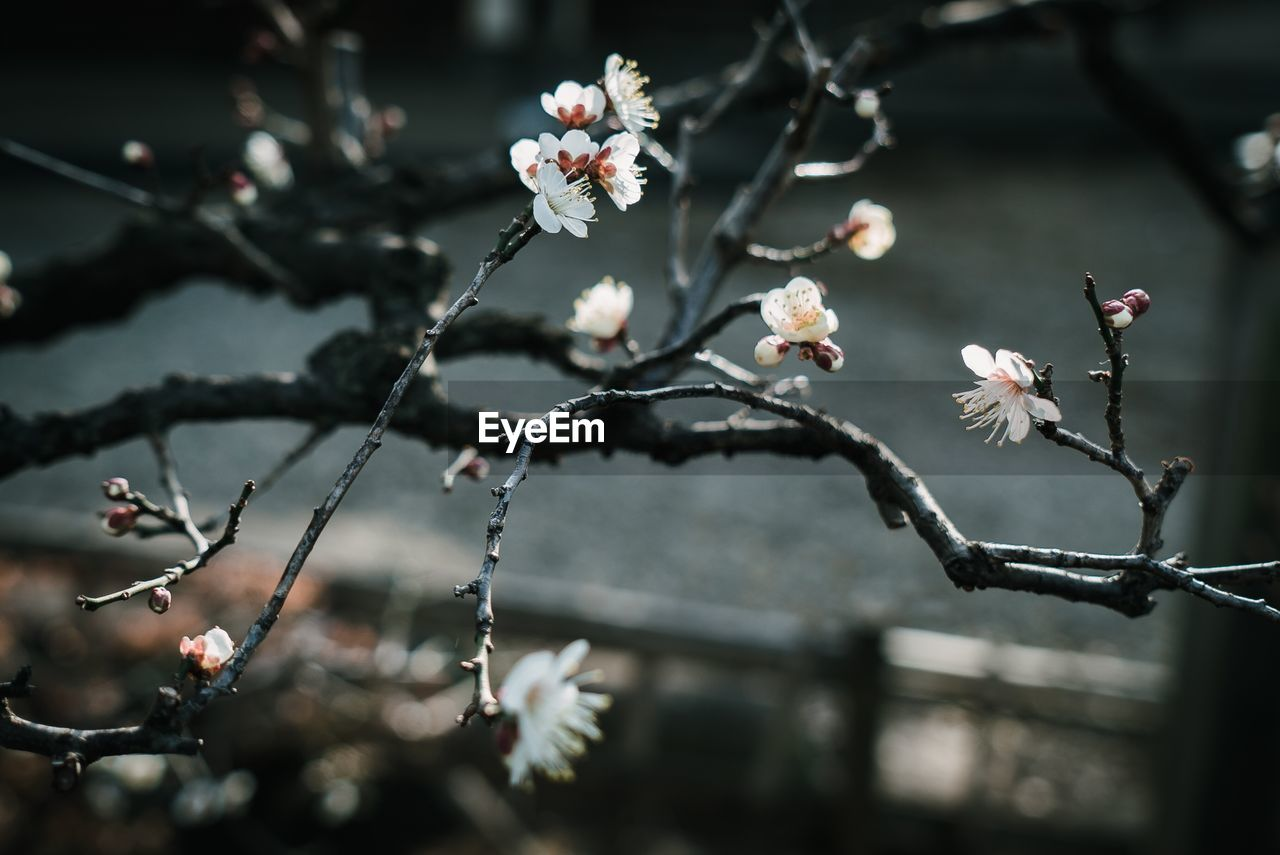 flower, flowering plant, plant, growth, fragility, freshness, beauty in nature, vulnerability, focus on foreground, close-up, nature, petal, blossom, no people, twig, day, tree, branch, outdoors, springtime, flower head, cherry blossom, pollen, plum blossom, cherry tree, spring