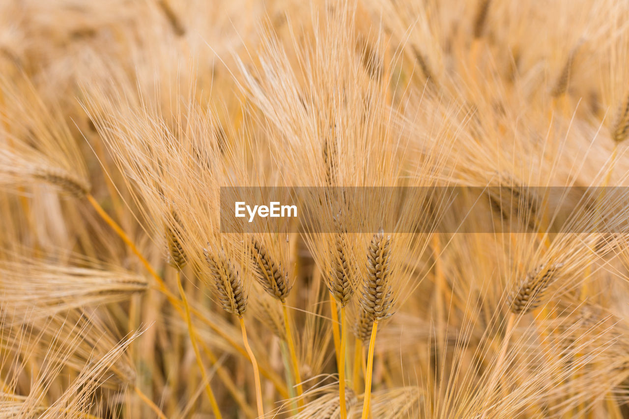 cereal plant, crop, agriculture, rural scene, landscape, plant, wheat, farm, field, land, growth, backgrounds, close-up, barley, full frame, no people, nature, selective focus, food and drink, food, outdoors, ripe
