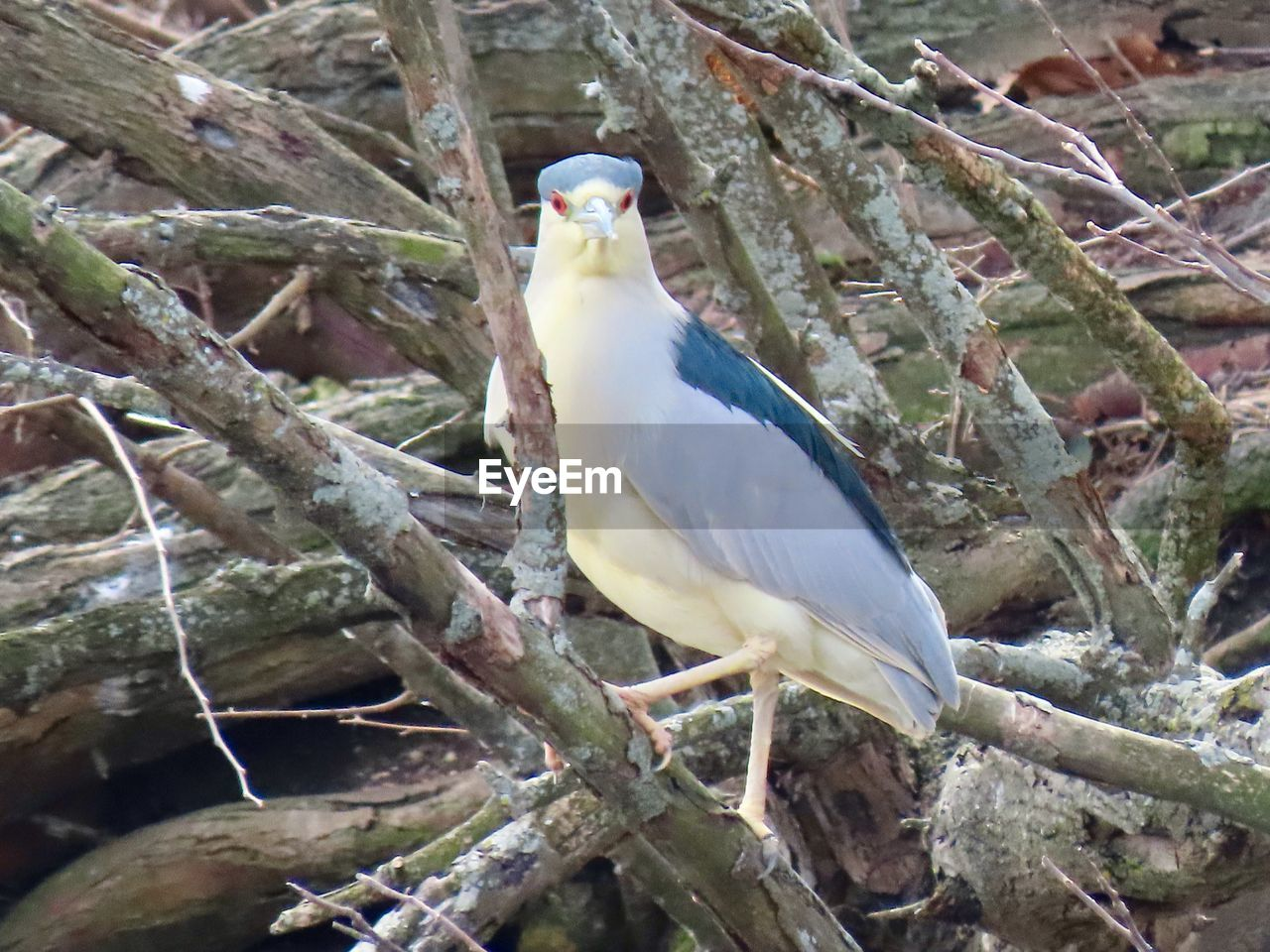 animals in the wild, vertebrate, bird, animal themes, perching, animal wildlife, animal, one animal, branch, tree, plant, no people, day, focus on foreground, nature, outdoors, close-up, beauty in nature, white color, beak
