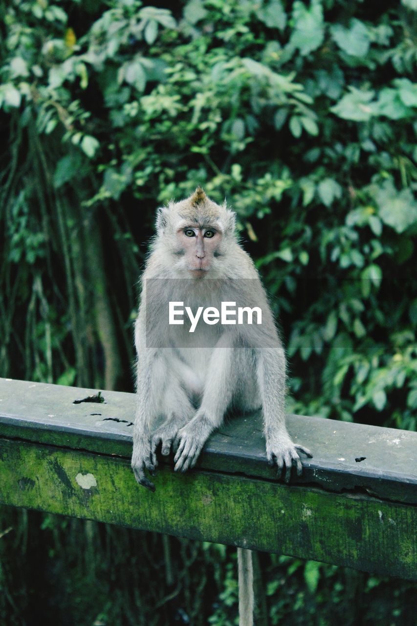 mammal, one animal, animal wildlife, animals in the wild, vertebrate, primate, sitting, plant, tree, nature, people, day, focus on foreground, railing, looking, wood - material