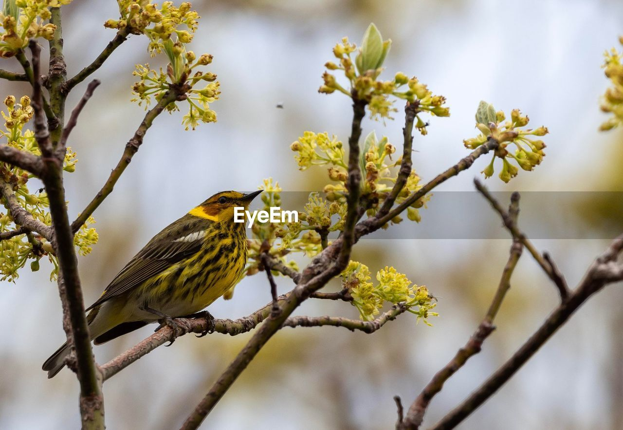 Cape May Warbler Camouflage Nature Bird Photography Nature Photography Perched Nature Collection Eating Bugs Awesome Nature Eating Bird Perching Tree Flower Branch Sky Close-up Songbird