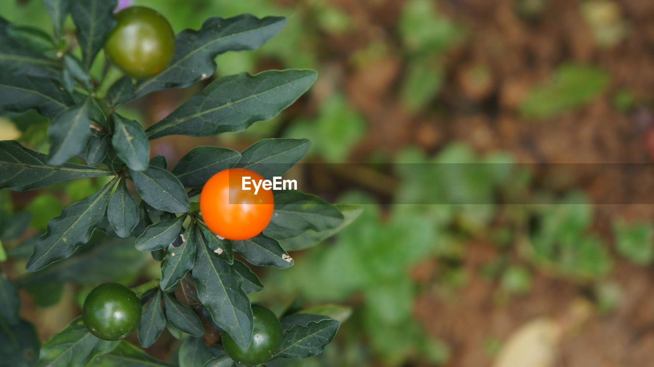 leaf, fruit, green color, food and drink, growth, freshness, focus on foreground, nature, tree, outdoors, citrus fruit, no people, food, orange tree, healthy eating, day, close-up, beauty in nature