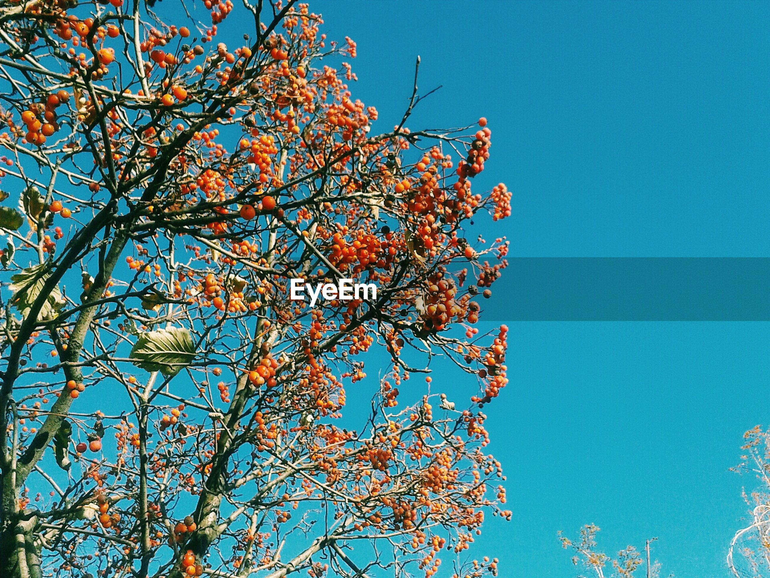 low angle view, clear sky, branch, blue, tree, growth, beauty in nature, nature, flower, freshness, sunlight, copy space, tranquility, sky, day, outdoors, fragility, no people, autumn, high section